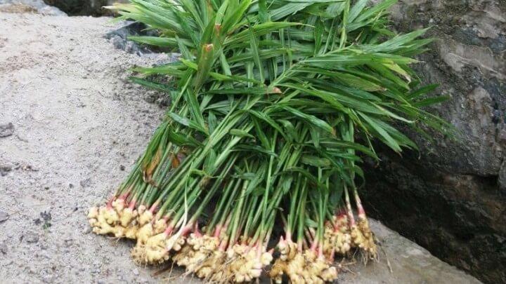 так выглядит собранный урожай имбиря