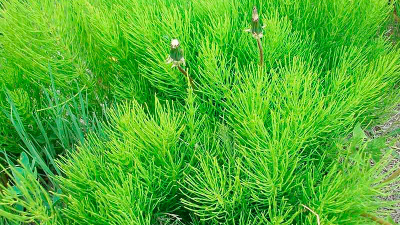 лечебные свойства и противопоказания хвоща полевого