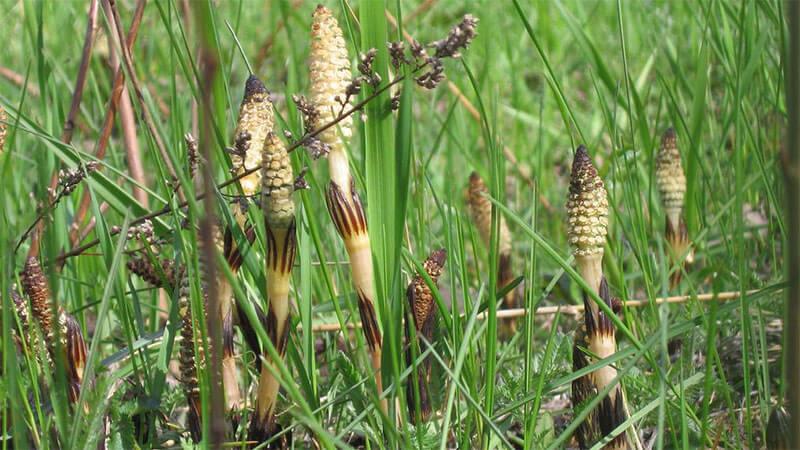 лечебные свойства хвоща полевого