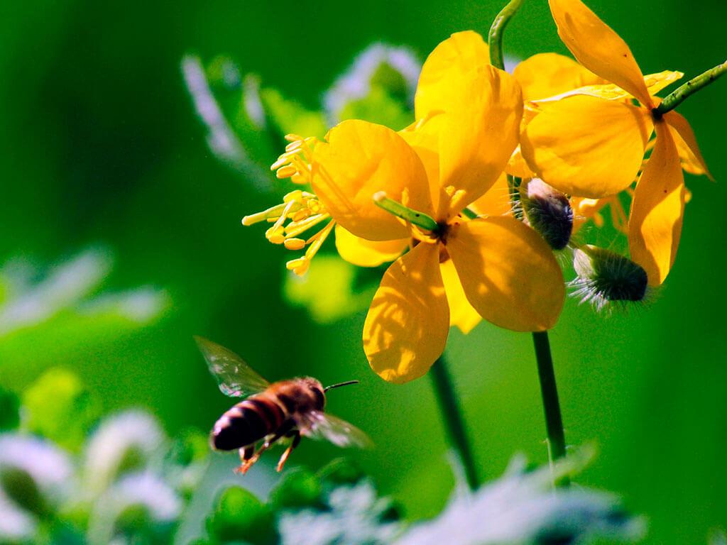 Растение чистотел лечебные свойства